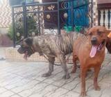 Boerboel female for sale