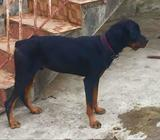 Semi adult male Rottweiler