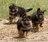 Cute/Pure /Full breed GERMAN SHEPHERD Dog/puppy For Sale Going For N55,000 Contact:08145445191