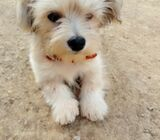 Cute/Pure /Full breed Cotton De Tulear Dog/puppy For Sale Going For N55,000 Contact:08145445191