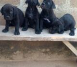 Cute/Pure /Full breed Cne Corso Dog/puppy For Sale Going For N55,000 Contact:08145445191 CAB