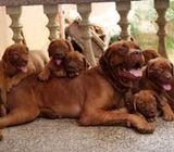 Cute/Pure /Full French Mastiff Pittbull Dog/puppy For Sale Going For N55,000 Contact:08145445191