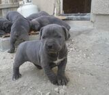 Cute/Pure /Full breed Neapolitan Mastiff Dog/puppy For Sale Going For N55,000 Contact:08145445191':