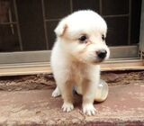 Pure Samoyed Dog/puppy For Sale Contact: 08104035288
