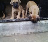 Pure Bull Mastiff Dog/puppy For Sale Contact: 08104035288