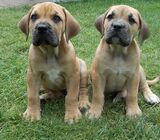 Cute/Pure /Full breed BOERBOEL Dog/puppy For Sale Going For N55,000 Contact:08145445191