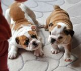 Cute/Pure /Full breed Bulldog Dog/puppy For Sale Going For N55,000 Contact:08145445191