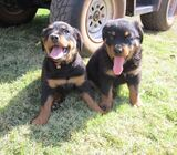 Cute/Pure /Full breed Rottweiler Dog/puppy For Sale Going For N55,000 Contact:08145445191