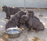 Cute/Pure /Full breed NEAPOLITAN Dog/puppy For Sale Going For N55,000 Contact:08145445191